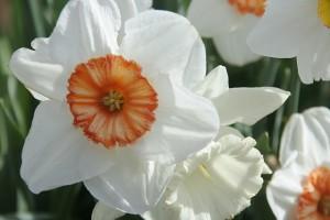 sierra_daffodil