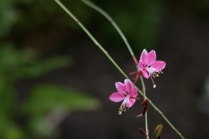 sierra_flower