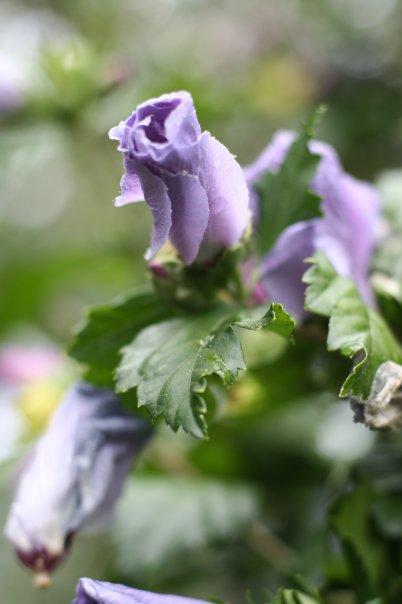 sierra_lavendarrose